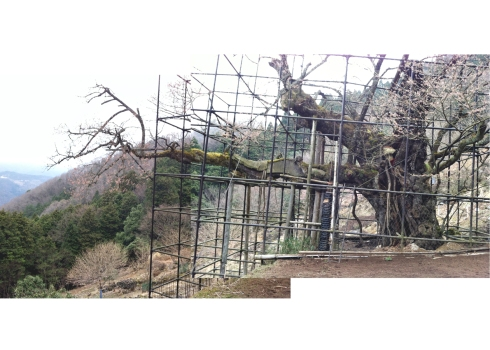 1000 yr old cherry tree