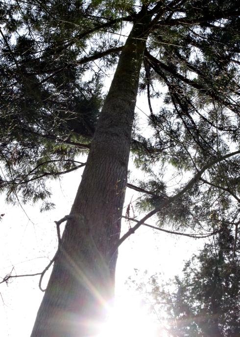 IMG_1649_cypress tree